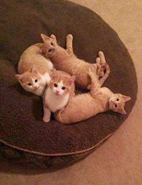 four kittens playing